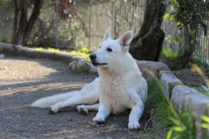 White-Shepherd-Puppies-BTWW-Sparta-03122019-069