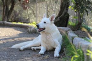 White-Shepherd-Puppies-BTWW-Sparta-03122019-071