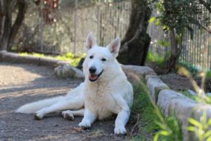 White-Shepherd-Puppies-BTWW-Sparta-03122019-072