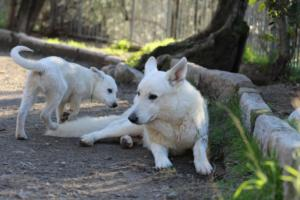 White-Shepherd-Puppies-BTWW-Sparta-03122019-075