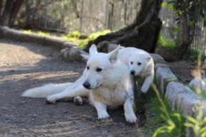 White-Shepherd-Puppies-BTWW-Sparta-03122019-076