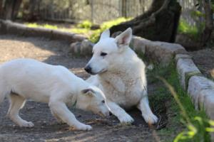 White-Shepherd-Puppies-BTWW-Sparta-03122019-077