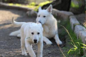 White-Shepherd-Puppies-BTWW-Sparta-03122019-078