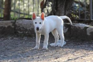 White-Shepherd-Puppies-BTWW-Sparta-03122019-079