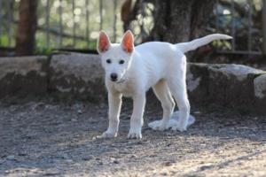 White-Shepherd-Puppies-BTWW-Sparta-03122019-080