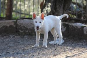 White-Shepherd-Puppies-BTWW-Sparta-03122019-081