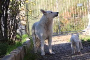 White-Shepherd-Puppies-BTWW-Sparta-03122019-084