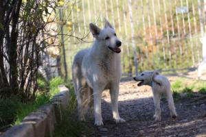 White-Shepherd-Puppies-BTWW-Sparta-03122019-085
