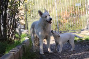 White-Shepherd-Puppies-BTWW-Sparta-03122019-086