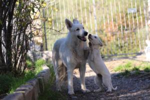 White-Shepherd-Puppies-BTWW-Sparta-03122019-087
