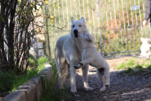 White-Shepherd-Puppies-BTWW-Sparta-03122019-088