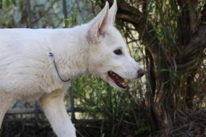 White-Shepherd-Puppies-BTWW-Sparta-03122019-090