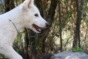 White-Shepherd-Puppies-BTWW-Sparta-03122019-091