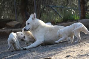 White-Shepherd-Puppies-BTWW-Sparta-03122019-092