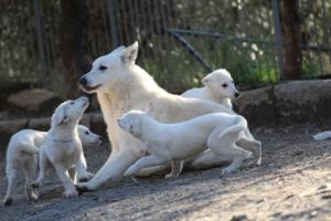 White-Shepherd-Puppies-BTWW-Sparta-03122019-094