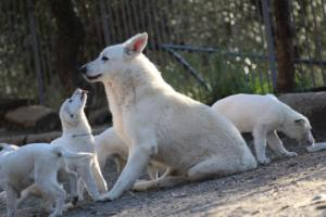 White-Shepherd-Puppies-BTWW-Sparta-03122019-096