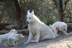 White-Shepherd-Puppies-BTWW-Sparta-03122019-097