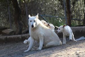 White-Shepherd-Puppies-BTWW-Sparta-03122019-098