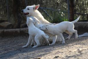 White-Shepherd-Puppies-BTWW-Sparta-03122019-099