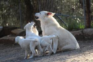 White-Shepherd-Puppies-BTWW-Sparta-03122019-100