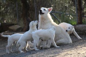 White-Shepherd-Puppies-BTWW-Sparta-03122019-101
