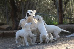 White-Shepherd-Puppies-BTWW-Sparta-03122019-102