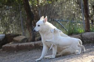 White-Shepherd-Puppies-BTWW-Sparta-03122019-103