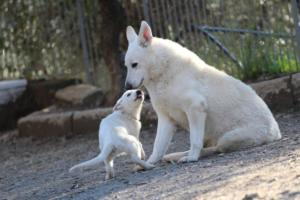 White-Shepherd-Puppies-BTWW-Sparta-03122019-104