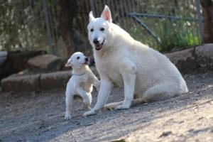 White-Shepherd-Puppies-BTWW-Sparta-03122019-105