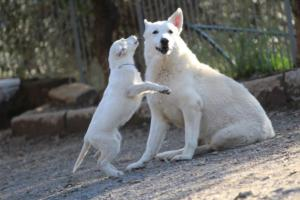 White-Shepherd-Puppies-BTWW-Sparta-03122019-106