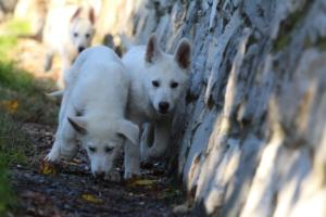 White-Shepherd-Puppies-BTWW-Sparta-03122019-107