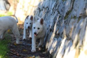 White-Shepherd-Puppies-BTWW-Sparta-03122019-108