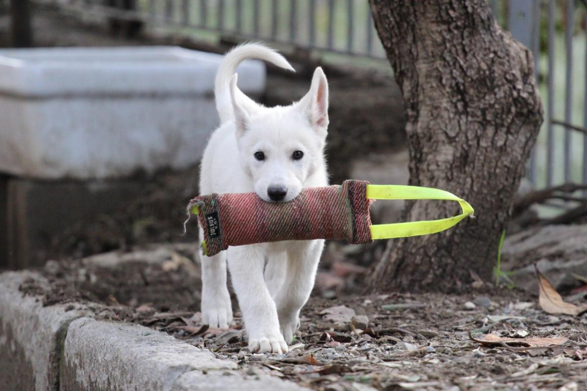 White Shepherd Puppy BTWW Sayonara