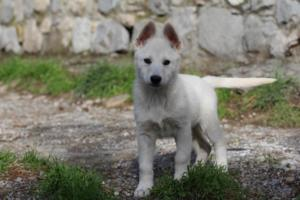 White-Shepherd-Puppies-BTWW-Spartans-081119-001