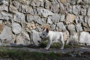 White-Shepherd-Puppies-BTWW-Spartans-081119-002