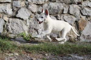 White-Shepherd-Puppies-BTWW-Spartans-081119-004