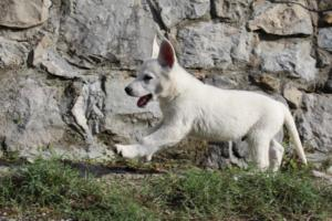 White-Shepherd-Puppies-BTWW-Spartans-081119-005