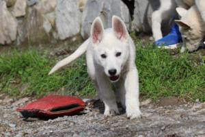 White-Shepherd-Puppies-BTWW-Spartans-081119-006