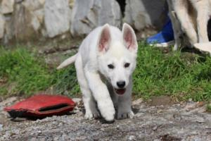 White-Shepherd-Puppies-BTWW-Spartans-081119-007