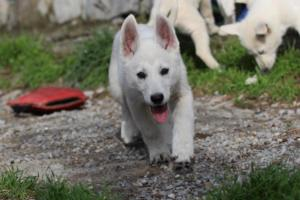 White-Shepherd-Puppies-BTWW-Spartans-081119-008