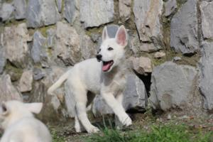 White-Shepherd-Puppies-BTWW-Spartans-081119-010