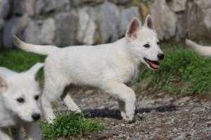 White-Shepherd-Puppies-BTWW-Spartans-081119-011