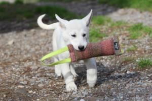 White-Shepherd-Puppies-BTWW-Spartans-081119-012