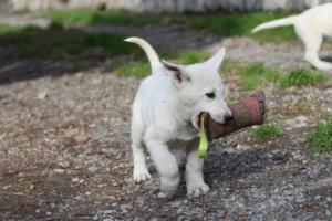 White-Shepherd-Puppies-BTWW-Spartans-081119-013