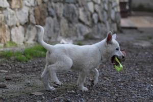 White-Shepherd-Puppies-BTWW-Spartans-081119-014