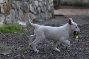 White-Shepherd-Puppies-BTWW-Spartans-081119-015
