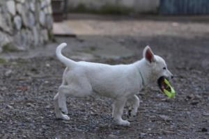 White-Shepherd-Puppies-BTWW-Spartans-081119-016