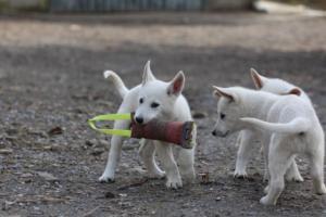White-Shepherd-Puppies-BTWW-Spartans-081119-017
