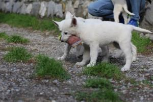 White-Shepherd-Puppies-BTWW-Spartans-081119-020
