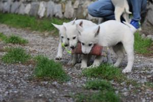 White-Shepherd-Puppies-BTWW-Spartans-081119-021